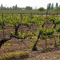 South America, Chile, Santiago. Vineyards at Santa Rita Winery.