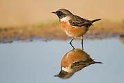 European Stonechat (Saxicola rubicola) near a puddle of water in the desert, wintering in negev, israel