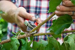 Pruning a plum tree using secateurs