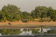 African elephant by river in South Luangwa National Park, Zambia