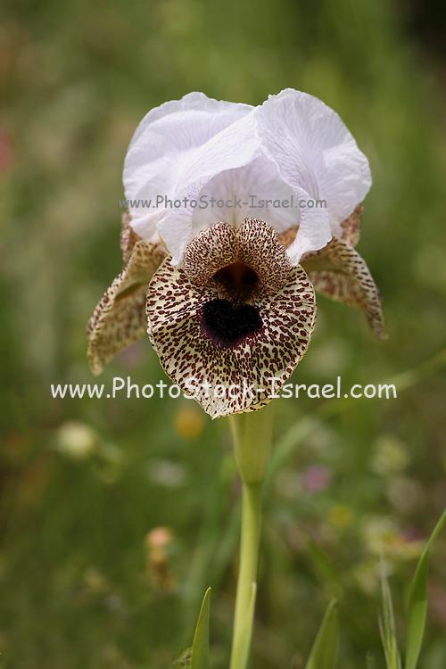Nazareth Iris (Iris bismarckiana) Photographed at Mount Gilboa Israel in April