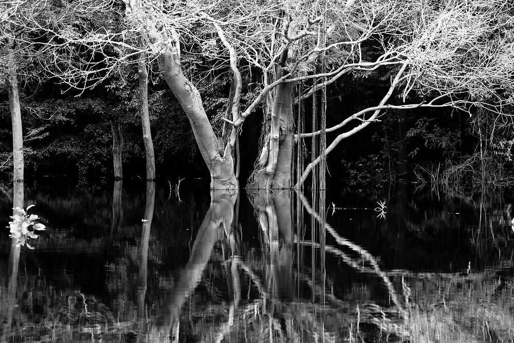 Reflected trees in the flooded Juma Lake, Amazonas
