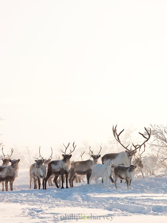 Reindeer run through the snow in the countryside at Karasjok, Finnmark region, northern Norway