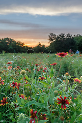 Wildflowers at sunset, Big Spring, Great Trinity Forest, Dallas, Texas, USA
