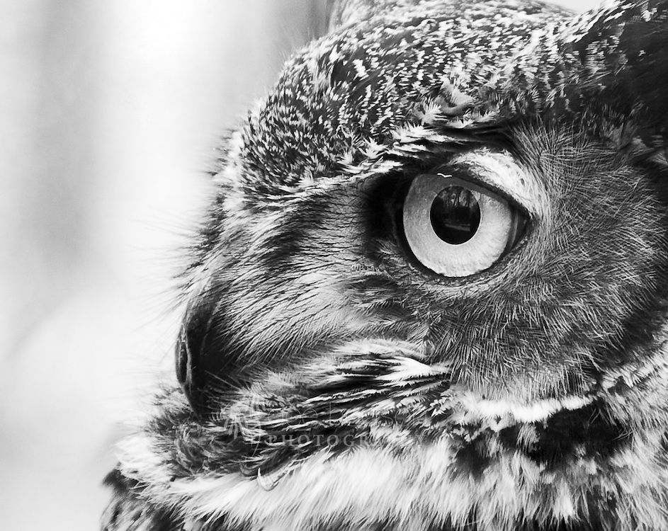 Andre, a male Great Horned Owl, was found injured along an interstate by a wildlife keeper. He was probably struck by a car. Though he is totally blind in his right eye, this left eye is quite beautiful.