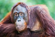 A portrait of an orangutan (Pongo pymaeus), Tanjung Puting National Park, Central Kalimantan, Borneo, Indonesia