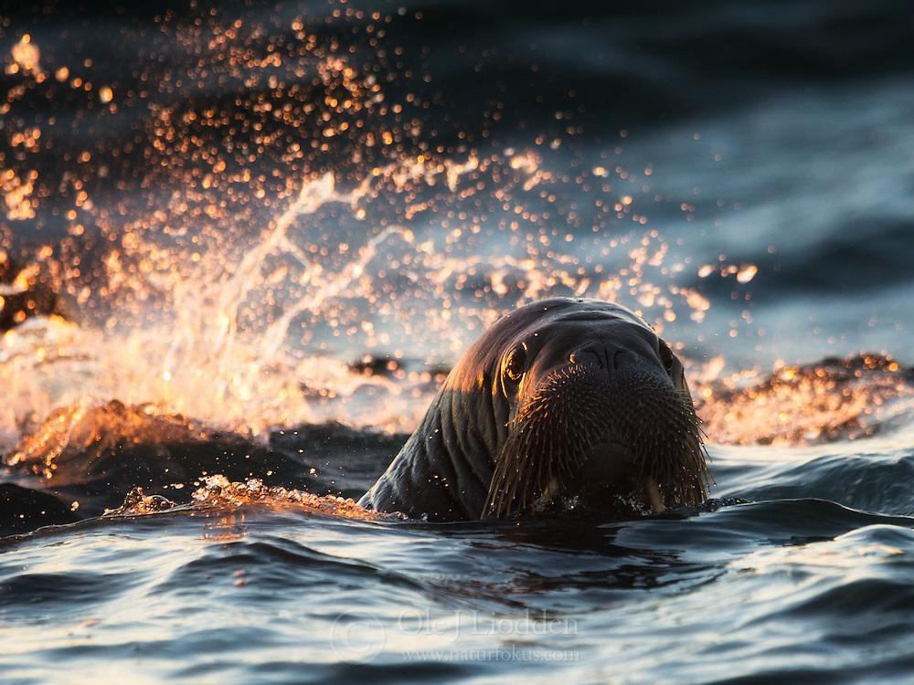 Walrus (Odobenus rosmarus) at sunrise at Moffen island, Svalbard