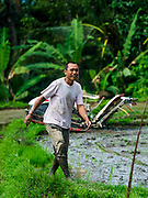 10 AUGUST 2017 - UBUD, BALI, INDONESIA: A man walks out of a rice field after using a mechanical transplanting machine in a rice field about 1.5 kilometers from downtown Ubud. Rice is the most important crop grown on Bali and is important as a food source and a symbol of Balinese culture. In accordance with Balinese tradition, men transplant the young rice plants from nurseries to the fields and women harvest the rice when it matures.     PHOTO BY JACK KURTZ