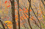 HArdwood trees in autumn colors<br /> Dorset<br /> Ontario<br /> Canada