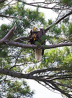 A bald eagle sits atop a tree at Lincoln Park Thursday afternoon overlooking Lake Winnipesaukee.  (Karen Bobotas/for the Laconia Daily Sun)