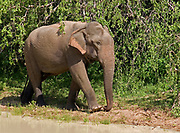 Female asian elephant walking through dense vegetation at water's edge, Yala National Park, Sri Lanka