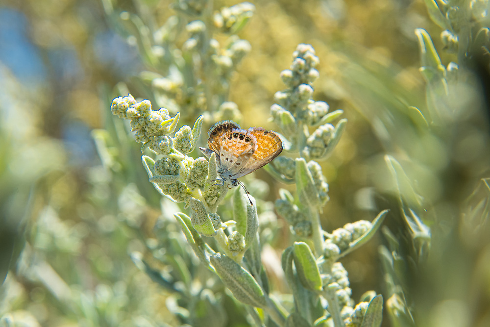 Easily identified by the two-toned underwing coloration and the recognizable pattern of spots, the western pygmy-blue is a tiny member of the gossamer-wing family of butterflies found commonly in the American Southwest and most of Mexico. This individual was photographed near the El Malpais National Monument in Cibola County, New Mexico.