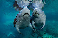 Florida manatee, Trichechus manatus latirostris, a subspecies of the West Indian manatee, endangered. Two adult female manatees socialize and touch flippers near a warm springhead. One manatee is covered in red algae and one has some green algae. It is late fall when most manatee first arrive and the type of algae growing on them can give clues as to where these individuals spent the summer. Horizontal orientation with mixing freshwater that turns aqua. Three Sisters Springs, Crystal River National Wildlife Refuge, Kings Bay, Crystal River, Citrus County, Florida USA.
