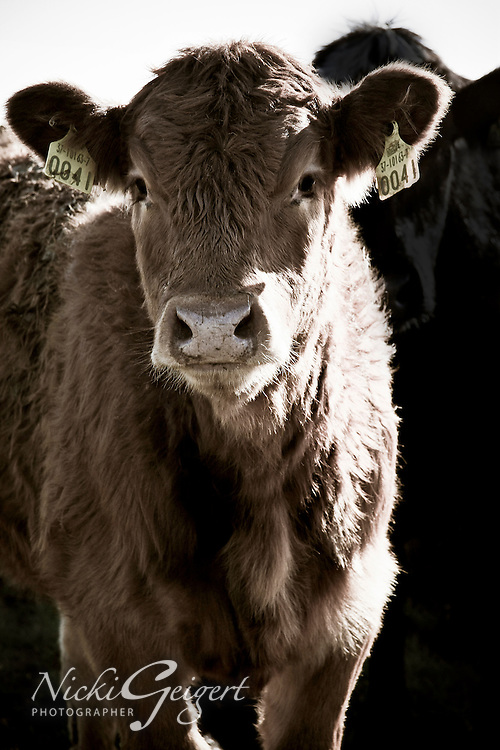 Animals, cow.<br /> MG2237