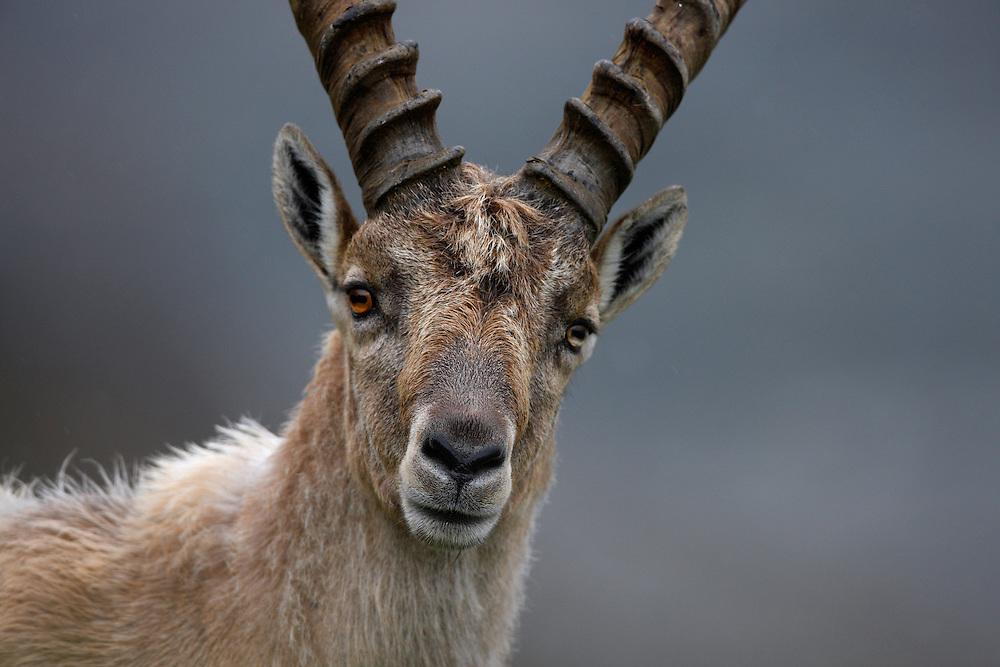 Alpine Ibex (Capra Ibex) portrait, Hohe Tauern National Park, Carinthia, Austria