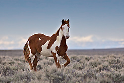 A paint mustang running free on the Wyoming Desert with the Wind River Mountains in the background