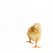 Judi - Baby Chicks