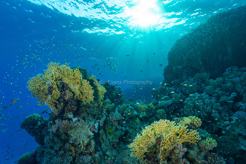 Red Sea Reef , Red Sea, Egypt.