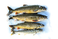 Four beautiful Lake Trout from Kathleen Lake