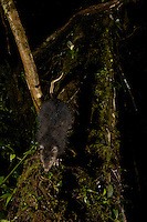 Woolly Giant Rat (Mallomys sp. nov.)<br />New species endemic to the Foja Mountains.  First discovered by Ucok in 2007.<br /><br />Camera trap shot.  First ever photo of this rat alive?