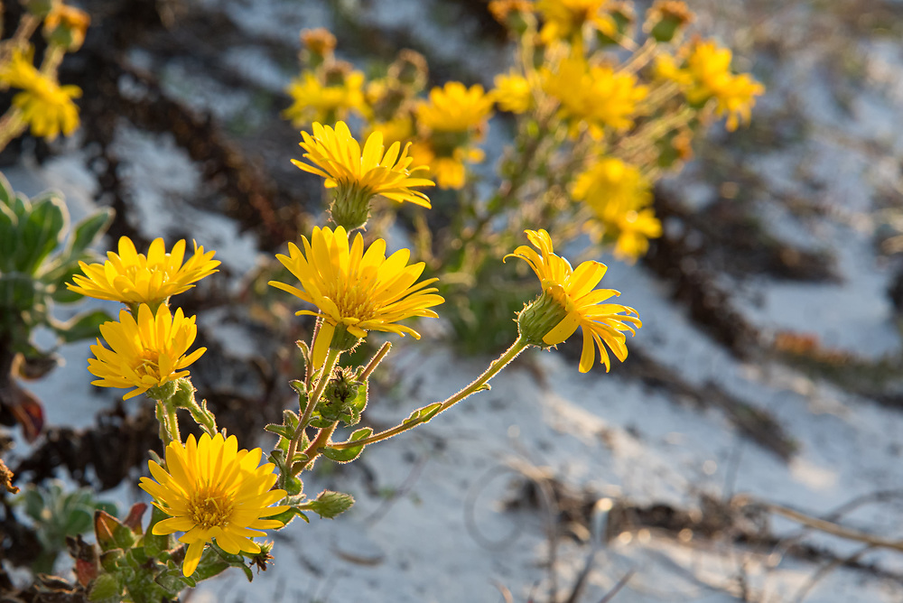 This particular subspecies of cottony goldenaster (Chrysopsis gossypina ssp. cruiseana) is a very hardy member of the aster and sunflower family with strong wood stems that blooms in the cooler months of fall and winter along the white sandy beaches of the Gulf of Mexico in Alabama and the Florida Panhandle. These were growing in profusion on Pensacola, Beach, Florida.