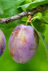 Plum 'Marjorie's Seedling'