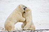 01874-11309 Polar Bears (Ursus maritimus) sparring, Churchill Wildlife Management Area MB