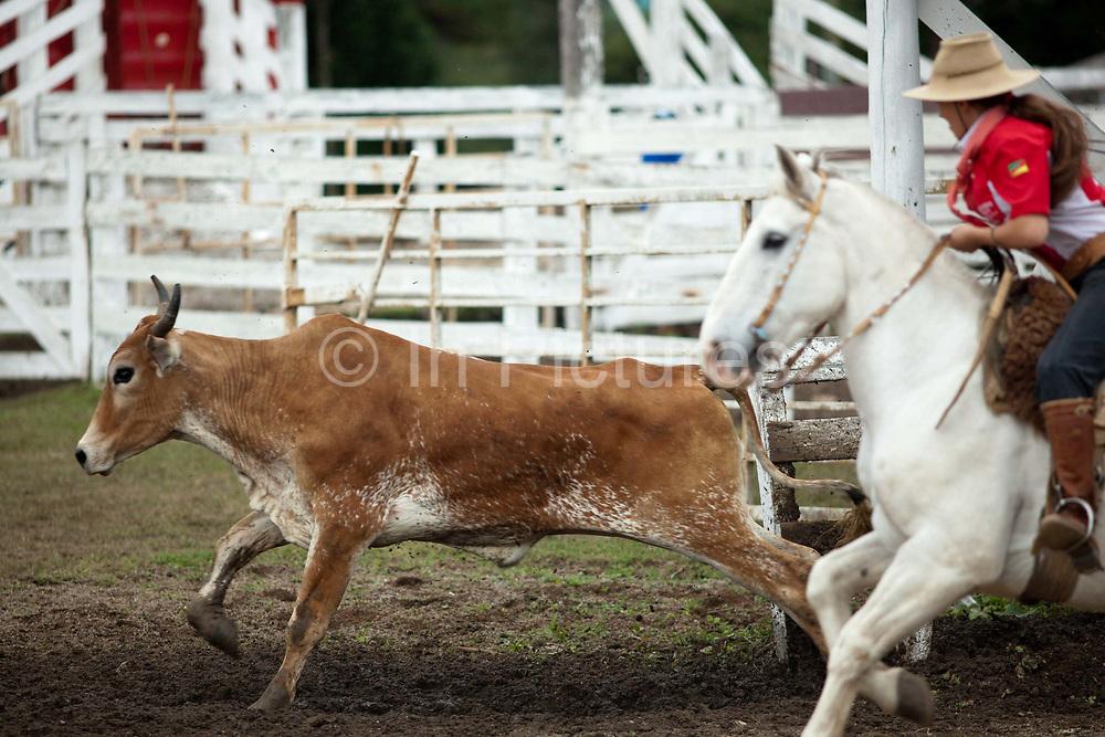 Brazilian Gaucha cowgirl female, riding a horse, lasooing a cow cattle, competing in a Rodeo. Gaucho cowboy Rodeo, Flores de Cunha, Rio Grande do Sul.