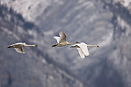© 2007 Randy Vanderveen, all rights reserved.Jasper, Alberta.A trio of tundra or whistling swans, including two adults and one immature one, take flight along the Rocky Mountains in Jasper National Park as they continue their southward journey to wintering grounds in the US.