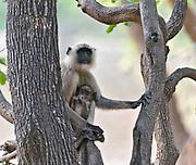 Female and baby of gray langur monkey (Semnopithecus dussumieri) in Bandhavgarh National Park, India.