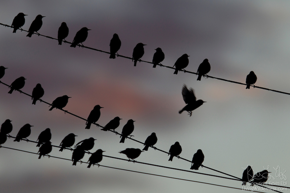 A flock of European starlings (Sturnus vulgaris) roost on overhead wires in Snohomish County, Washington.