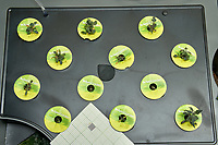 AeroGarden Farm 01 Left Tray at 29 days. Position 1-6 Red Heirloom Tomatoes. Position 7-12 Golden Harvest Tomatoes. Image taken with a Leica TL-2 camera and 35 mm f/1.4 lens (ISO 640, 35 mm, f/16, 1/25 sec).