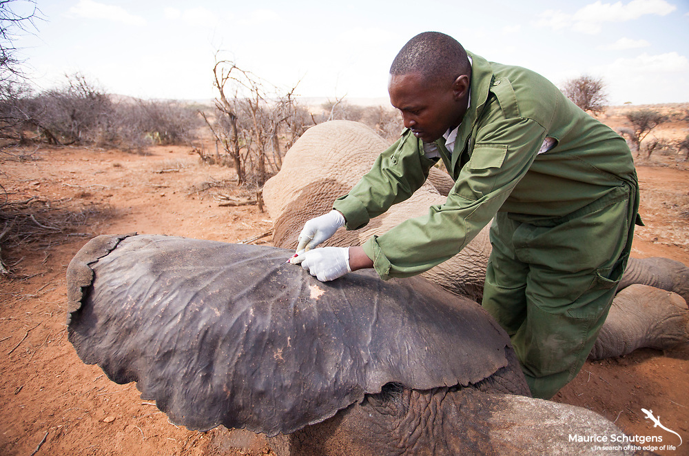 A KWS vet applies the antidote to revive the elephant post treatment for a gunshot wound on Loisaba Conservancy.