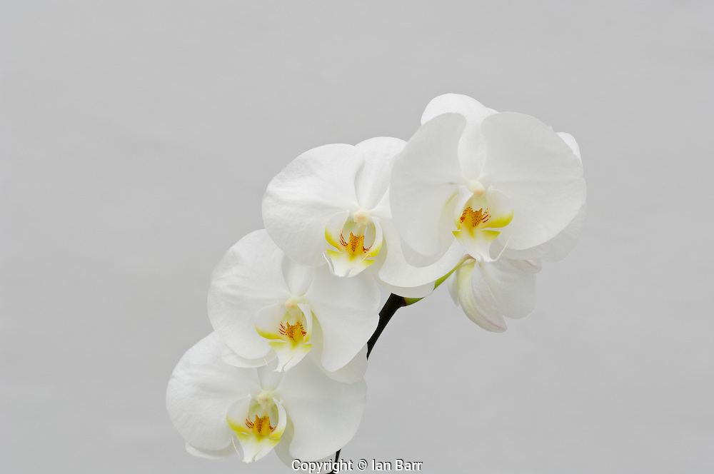 Still Life Of Orchids