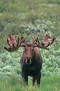 Alaska. Moose. Antlers in velvet. August in the Alaska Range.