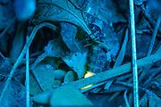 Glow worm female (Lampyris noctiluca) displaying at night. Surrey, UK.