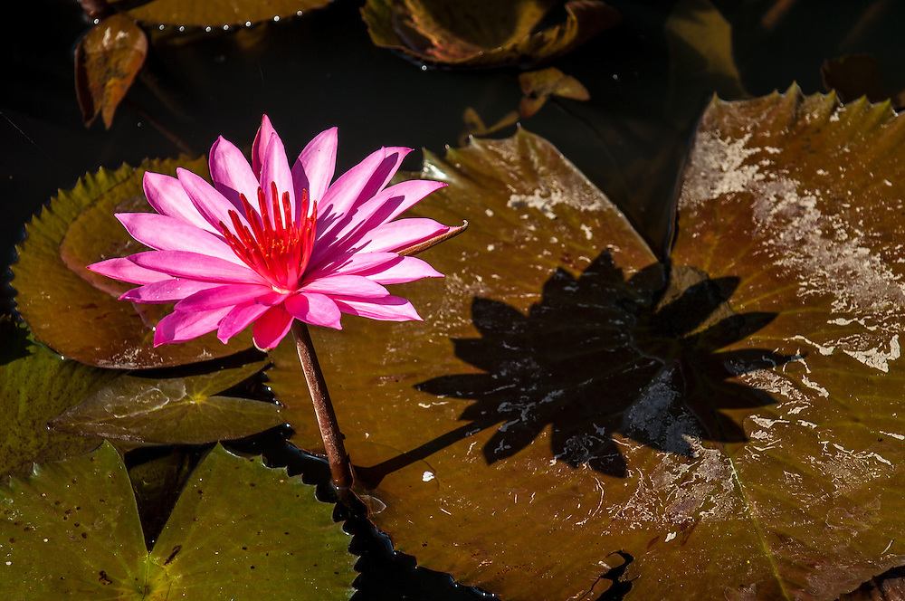 Stock photograph of pink water lilies (nymphaeaceae) blooming above green floating lily pads floating in a garden pond in Indonesia