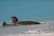 Hawaiian monk seals, Monachus schauinslandi, male (rear) makes advances toward resisting female (front), Critically Endangered endemic species, Sand Island, Midway, Atoll, Midway Atoll National Wildlife Refuge, Papahanaumokuakea Marine National Monument, Northwest Hawaiian Islands ( Central North Pacific Ocean )