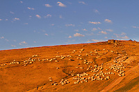 Shepherd leading his Domestic sheep (Ovis aries) to a paddock close to the Meteorological Station of Cuntu. Southern Carpathians, Munții Ṭarcu, Caraș-Severin, Romania.