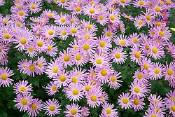 Chrysanthemum 'Carmine Blush
