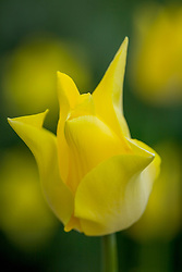 Tulipa 'Moonshine'