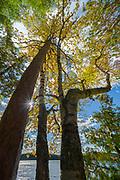Forest canopy, October, Togue Pond, Baxter State Park, Maine, USA