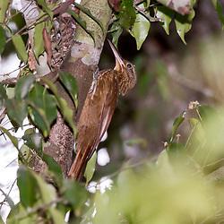 """""""Arapaçu-de-garganta-amarela (Xiphorhynchus guttatus) fotografado em Linhares, Espírito Santo -  Sudeste do Brasil. Bioma Mata Atlântica. Registro feito em 2013.<br /> <br /> <br /> <br /> ENGLISH: Buff-throated Woodcreeper photographed in Linhares, Espírito Santo - Southeast of Brazil. Atlantic Forest Biome. Picture made in 2013."""""""