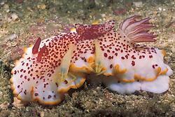 This large, colorful nudibranch, Chromodoris sp., is host to  pair of Imperial Shrimp, Periclimenes imperator. Mergui Archipelago, Myanmar/Burma, Andaman Sea
