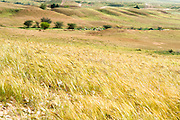 Wind blows through a wheat field. Photographed in Lachish region, Negev, Israel