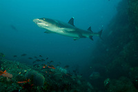 """Whitetip Reef Shark (Triaenodon obesus) on a rocky seamount in Coiba NP.<br /><br />Contreras Islands, N of Brancanco Isl.<br />Coiba National Park, Panama<br />Tropical Eastern Pacific Ocean<br /><br />""""Roller Coaster"""" dive site"""