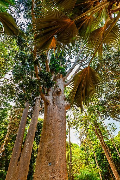 Queensland Kauri Pine, Royal Botanical Gardens, Peradeniya, Kandy, Central Province, Sri Lanka.