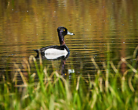 Ring-necked Duck (Aythya collaris). Lily Lake, Rocky Mountain National Park, Colorado. Image taken with a Nikon D300 camera and 80-400 mm VR lens.
