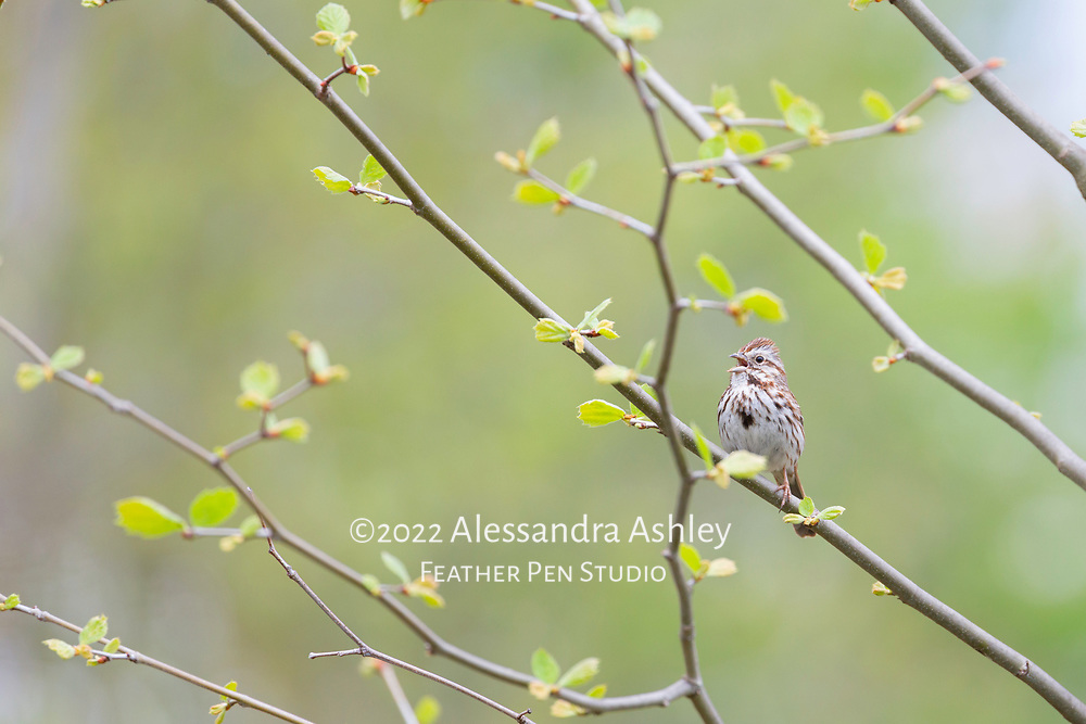 Song sparrow singing at Shale Hollow Preserve in central Ohio.