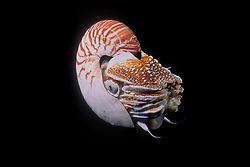 An ancient relative of octopus and squid, the Chambered Nautilus, Nautilus pompilius, is a true living fossil. Papua New Guinea, Pacific Ocean